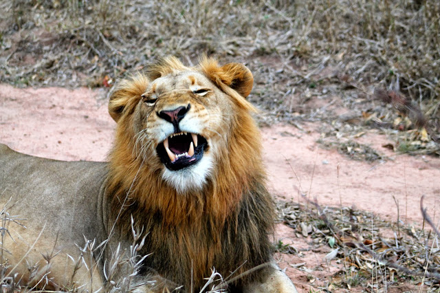 laughing lion