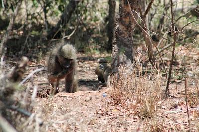monkeys in Kruger National Park