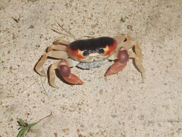 Jamaica crab