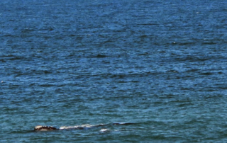 Whale in Hermanus