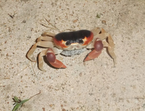 Travel Photo: Crab found in Jamaica